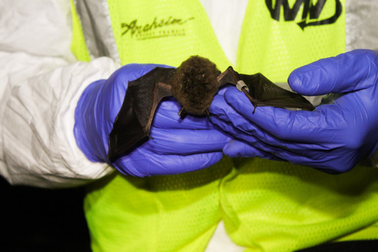 Banded bat in hand