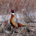 Pheasant Hunt starts Oct. 17