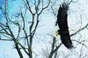 Eagle Watching Events in Wisconsin