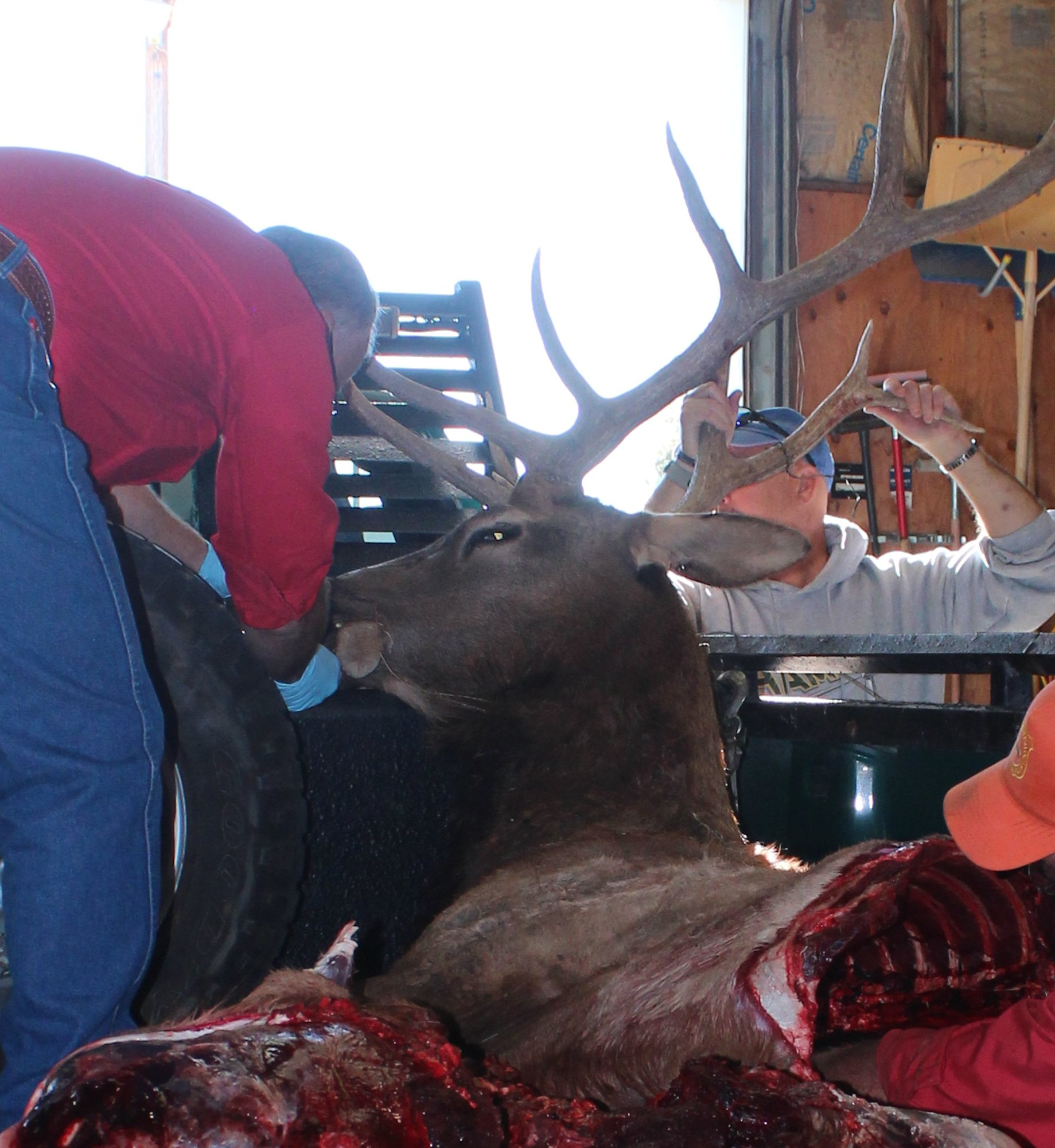 430 elk poached 2015
