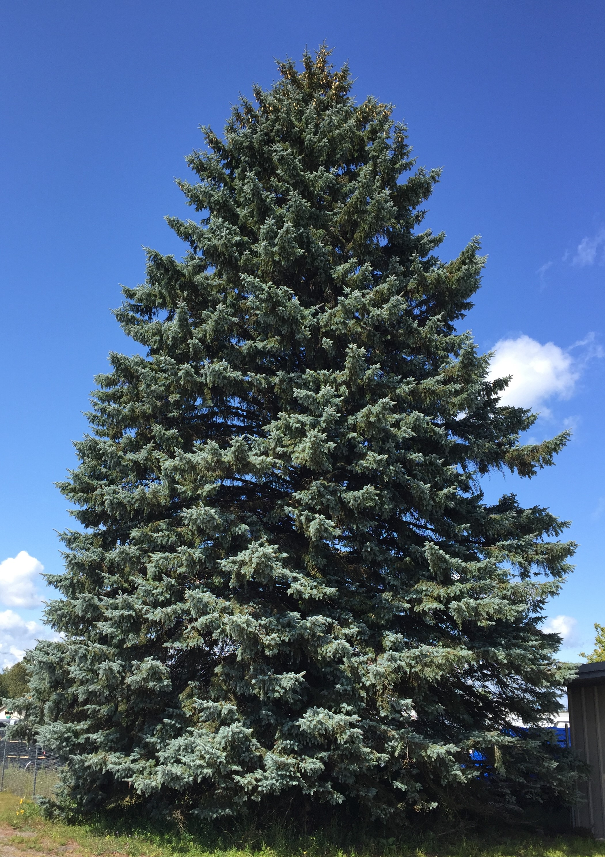 Photo of State Christmas Tree