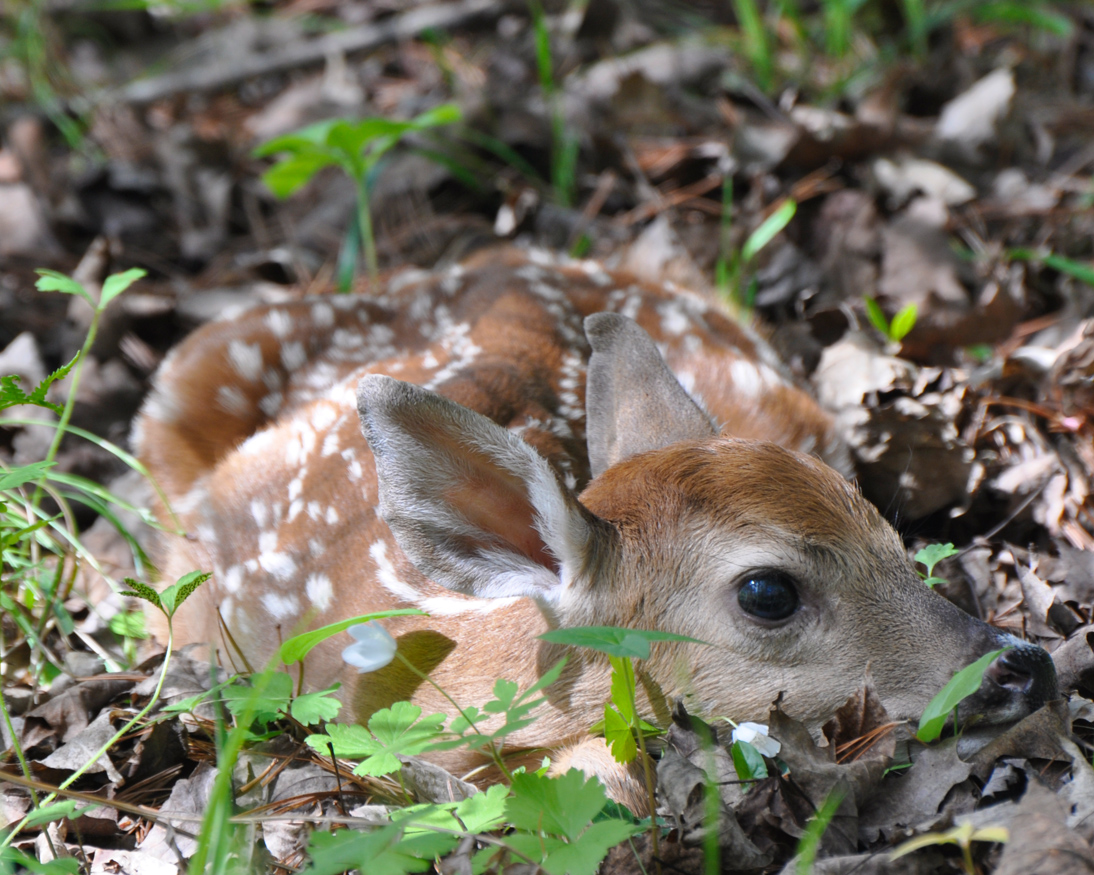 dnr leave wildlife in the wild do not take baby animals from