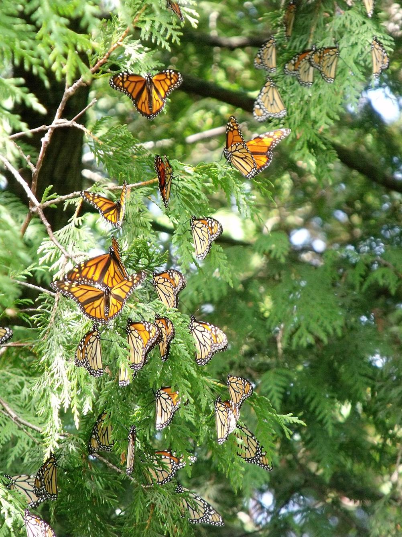 Dnr Monitoring Michigan 39 S Migrating Monarchs