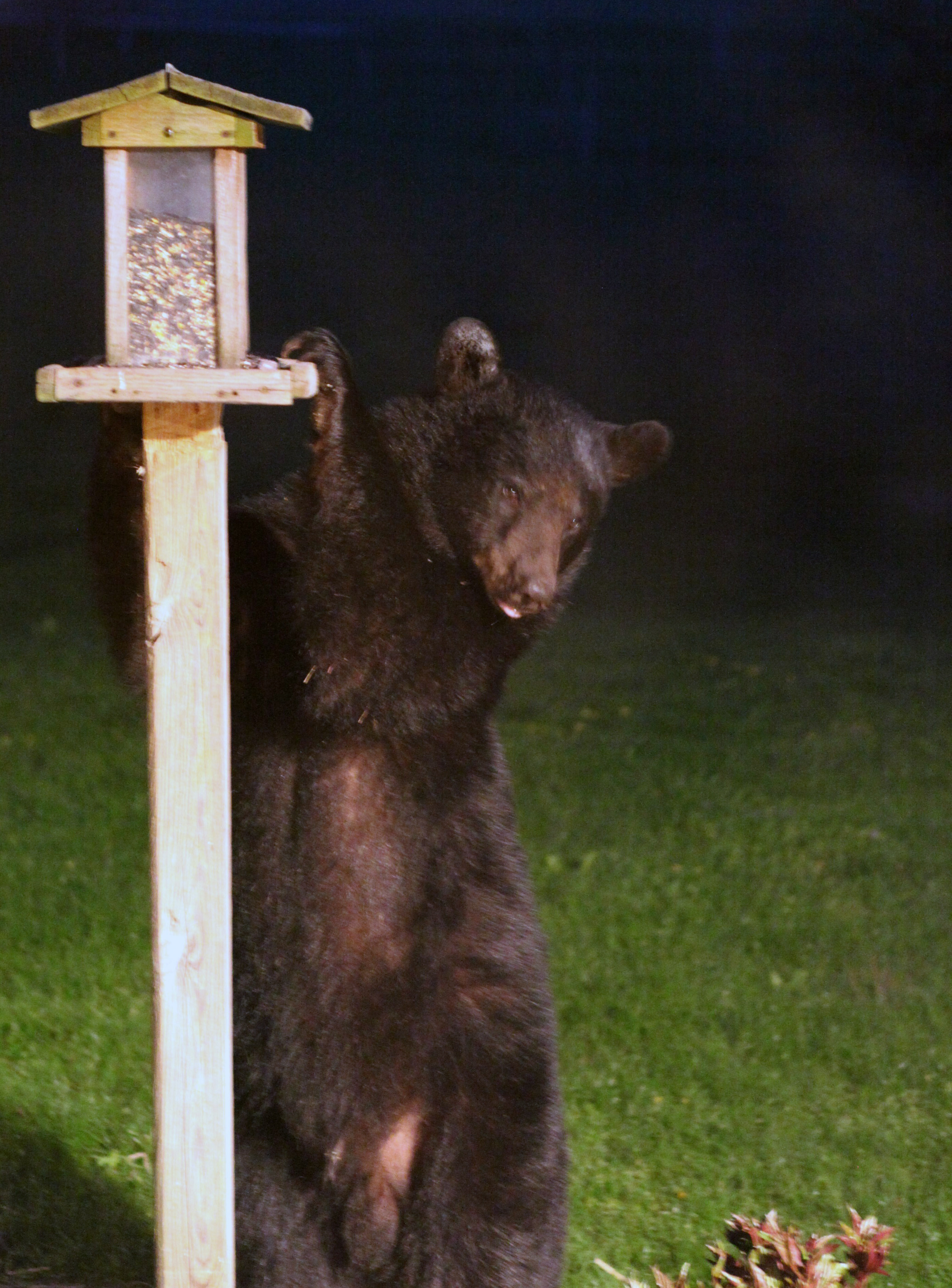 dnr black bears and humans what you should know