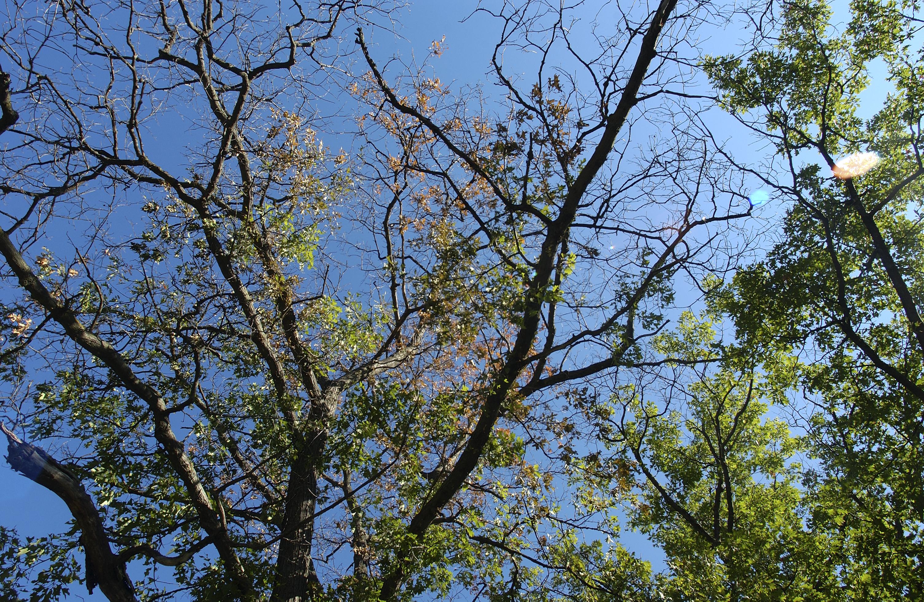 Oak Wilt Horizontal Photo Jpg
