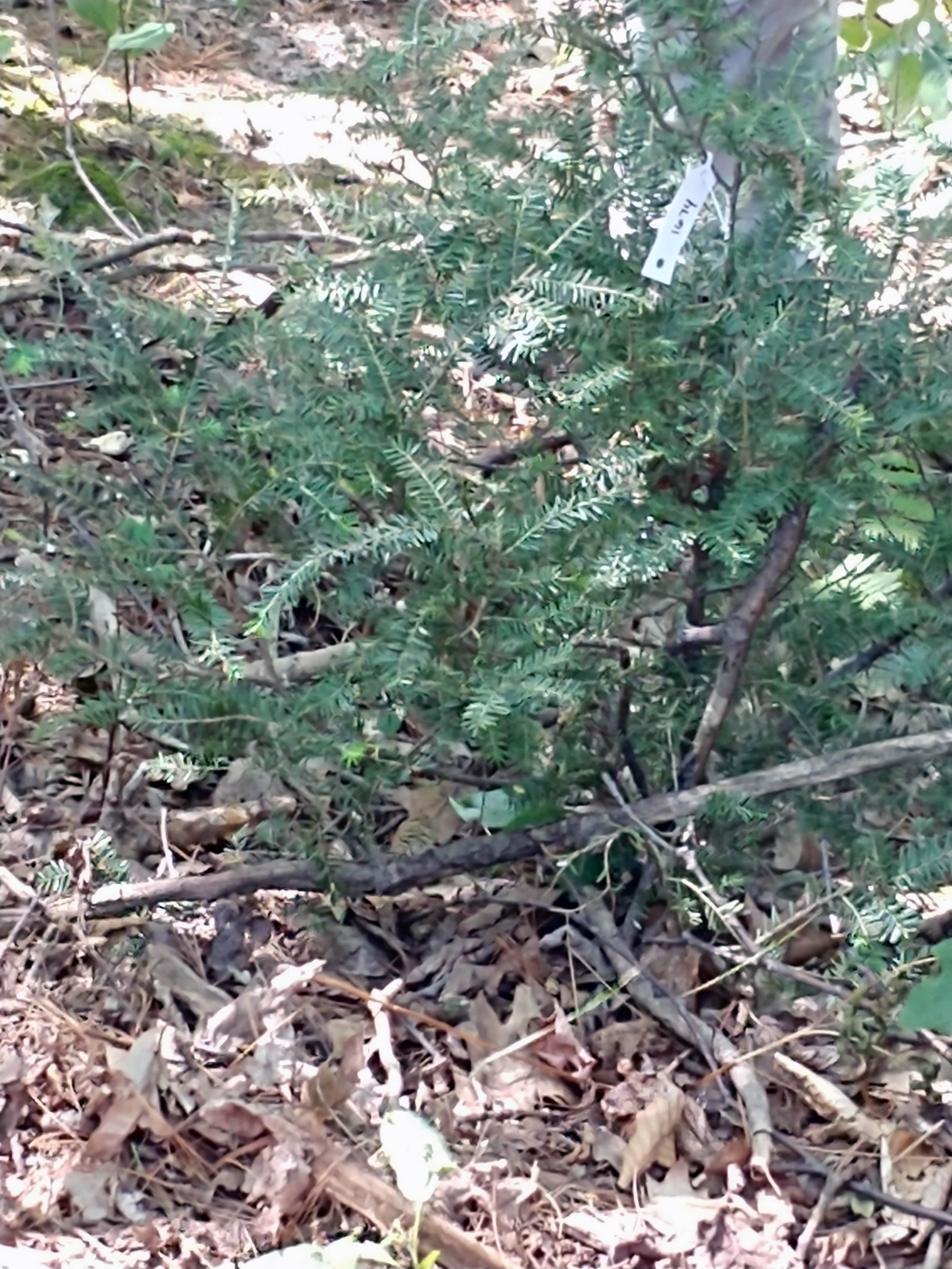 Showcasing the DNR: Protecting Michigan's valuable hemlock trees