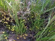 DSP Carnivorous Plant 4/15