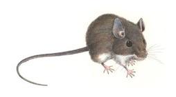 Hantavirus-Rat