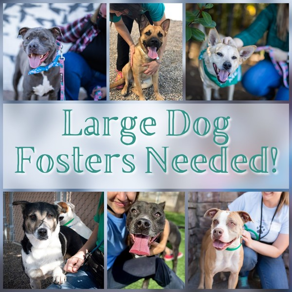 Large foster dogs