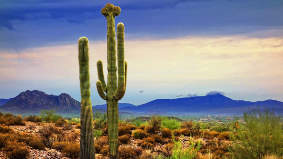 Saguaros at McDowell Regional Park