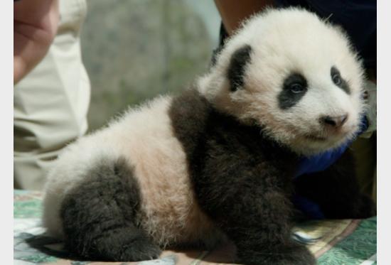 Mandarin Panda