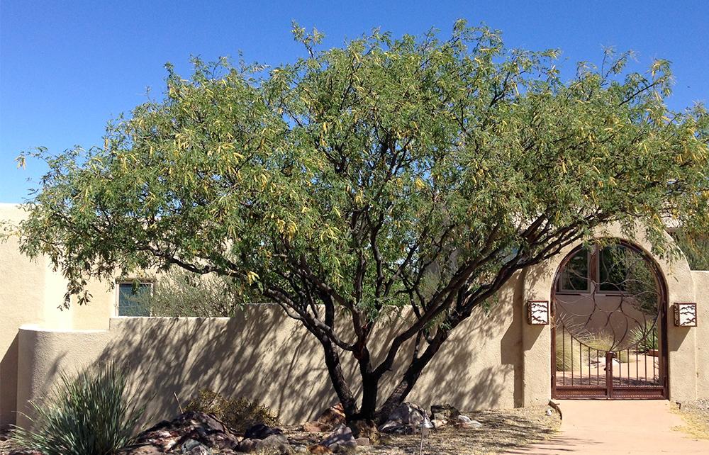 TW mesquite tree