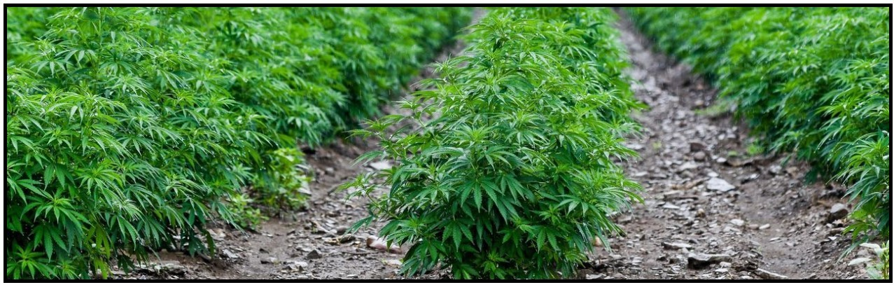 HEMP crop