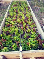 Picture of a garden bed full of green veggies