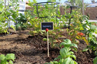 Garden bed with soil and raspberry plant with label sign