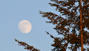 A full moon against the blue sky with part of an evergreen tree to one side.