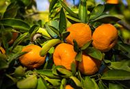 Mandarins image.