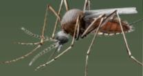 Vector Mosquito