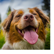 A dog sitting in a meadow with its eyes closed and tongue out.