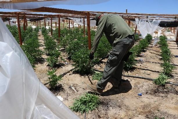 Ilegal cannabis