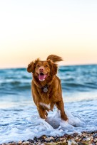 Dog running at the beach in the water