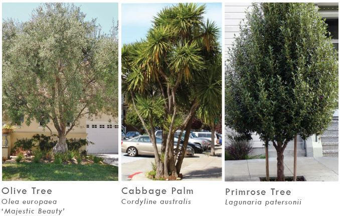 Tree options Olive, Cabbage palm and Primrose tree