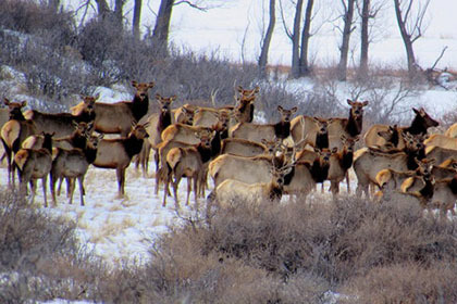 Elk herd along Rabbit Mountain Open Space