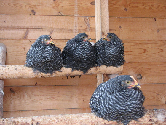 Chickens on a shelf