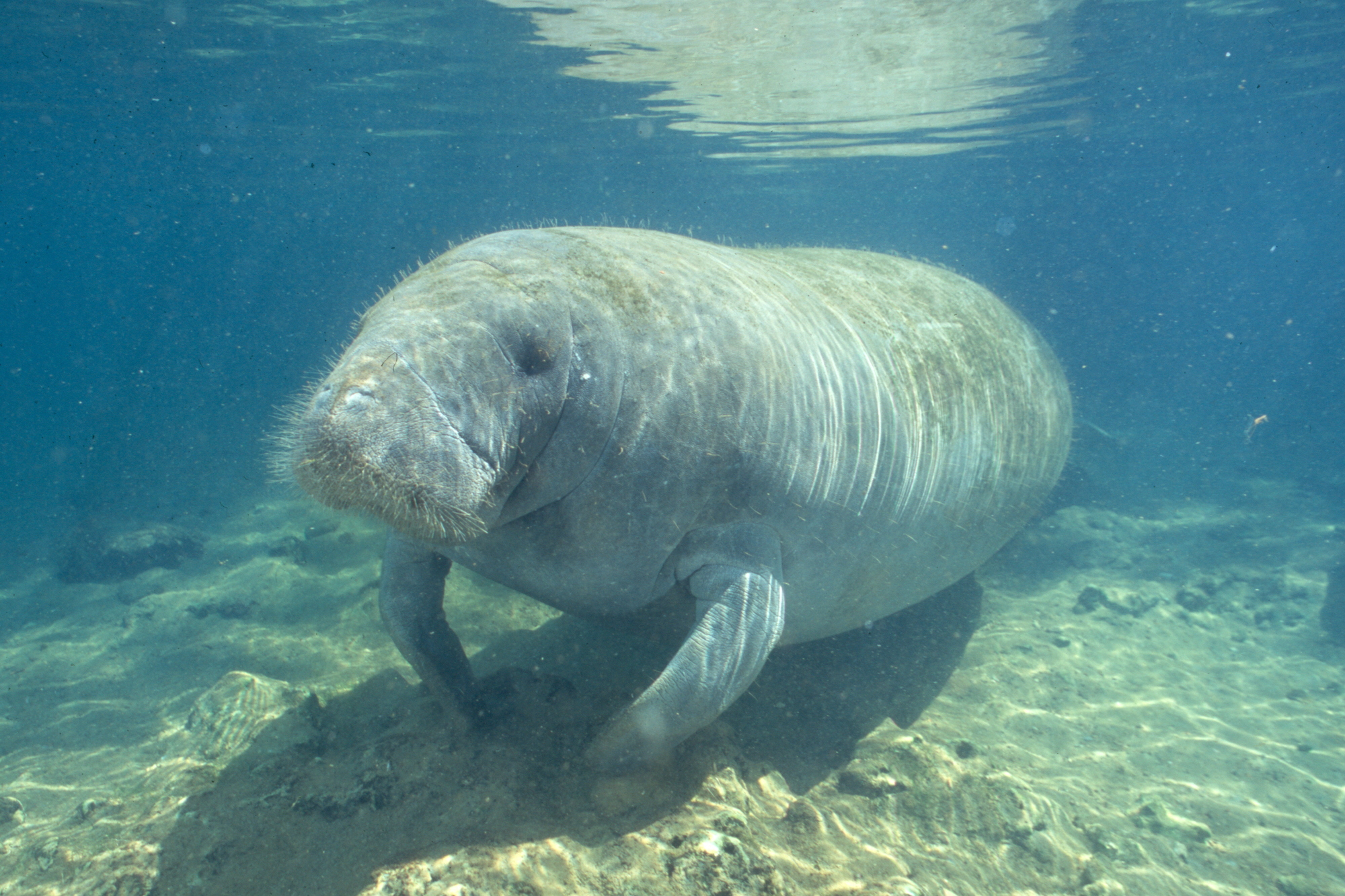 A Manatee at Ellie Schiller Homosassa Springs Wildlife State Park