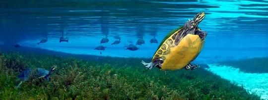 Turtles in Blue Springs
