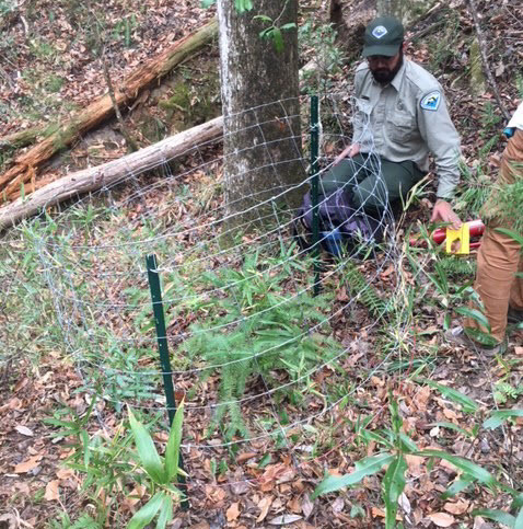 A picture of a ranger putting a wire cage around a torreya sapling