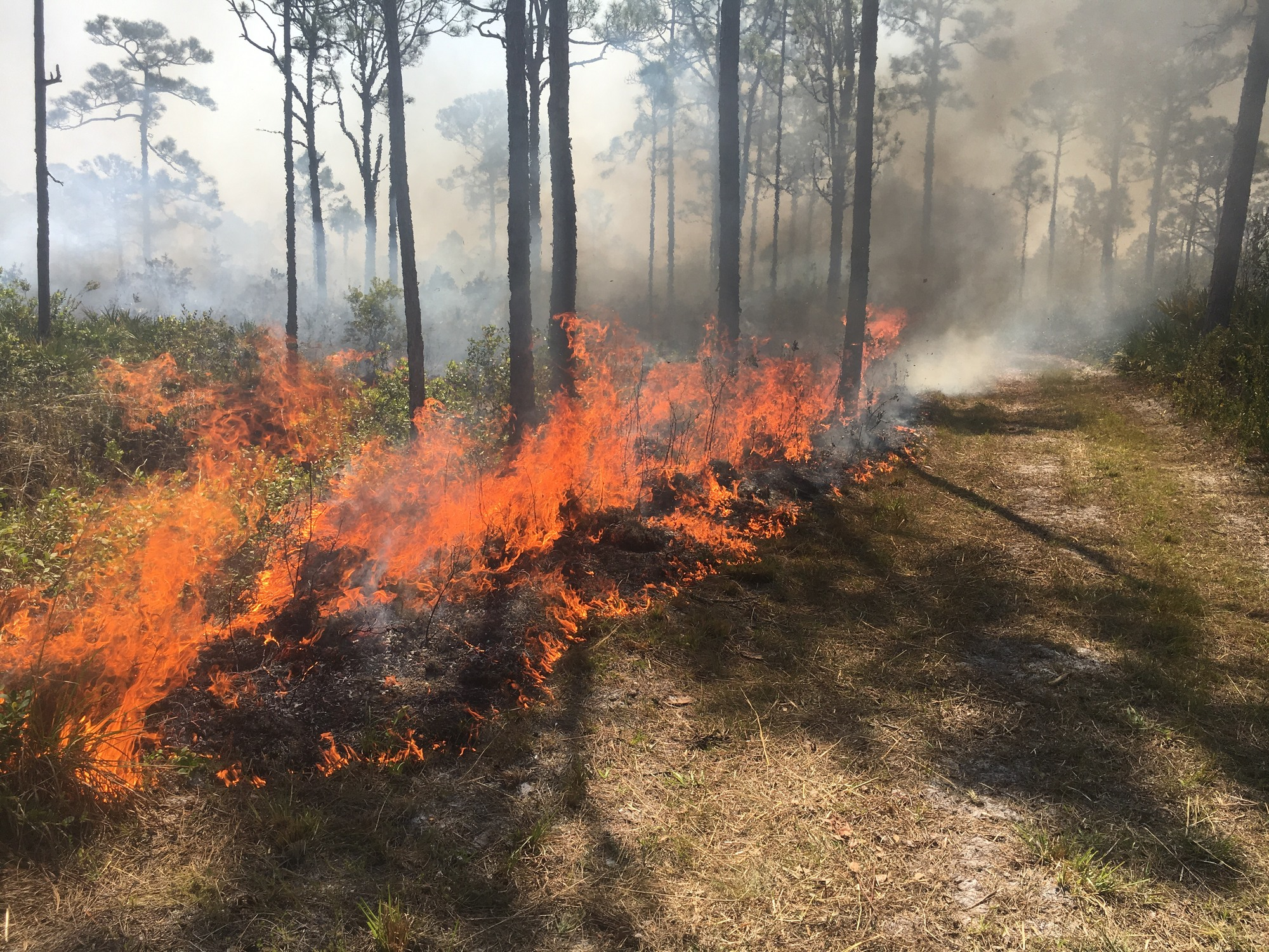 A prescribed fire burning at Jonathan Dickinson State Park