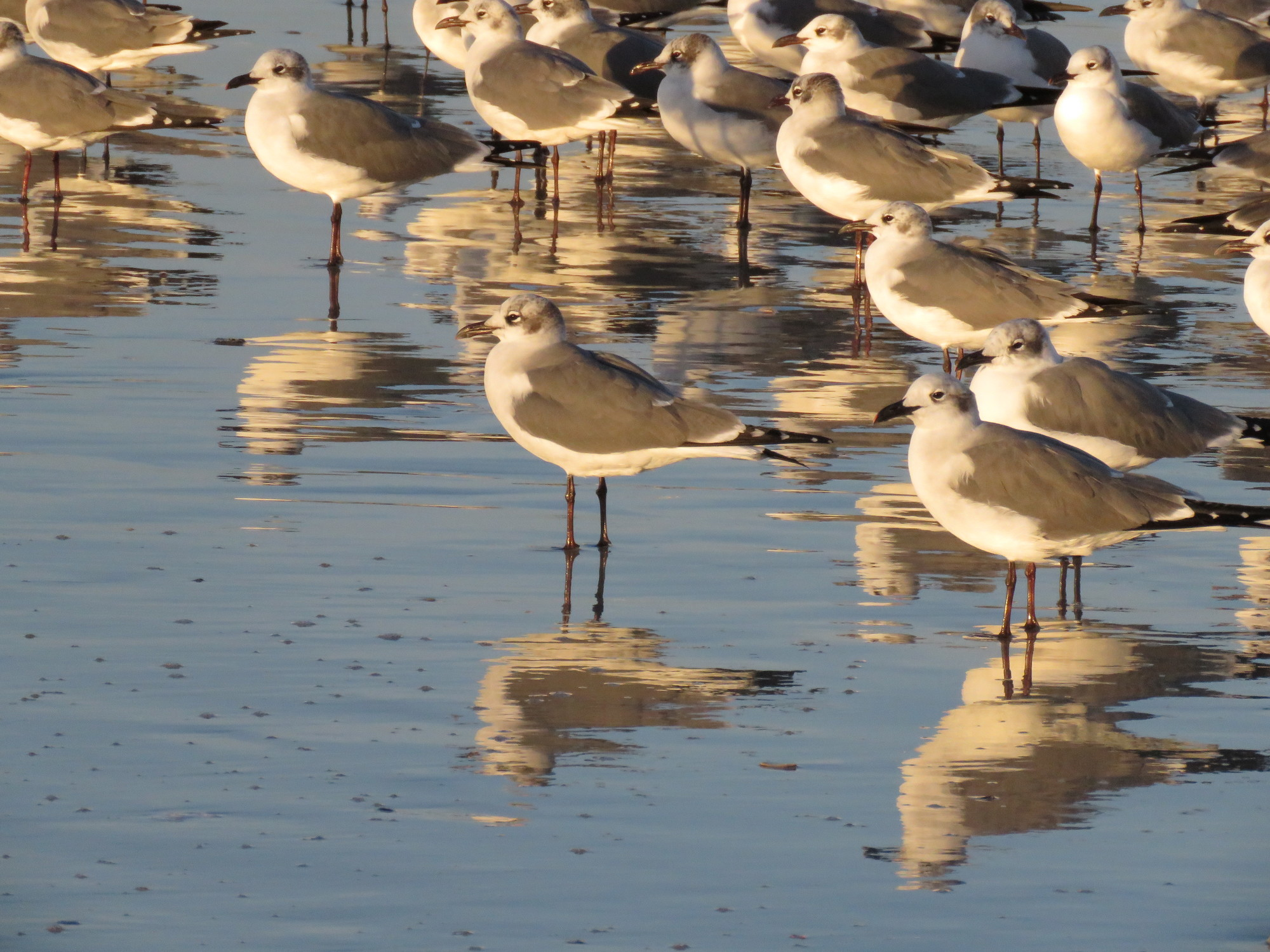 A group of Plover's on Ft. Clinch State Park's Beach
