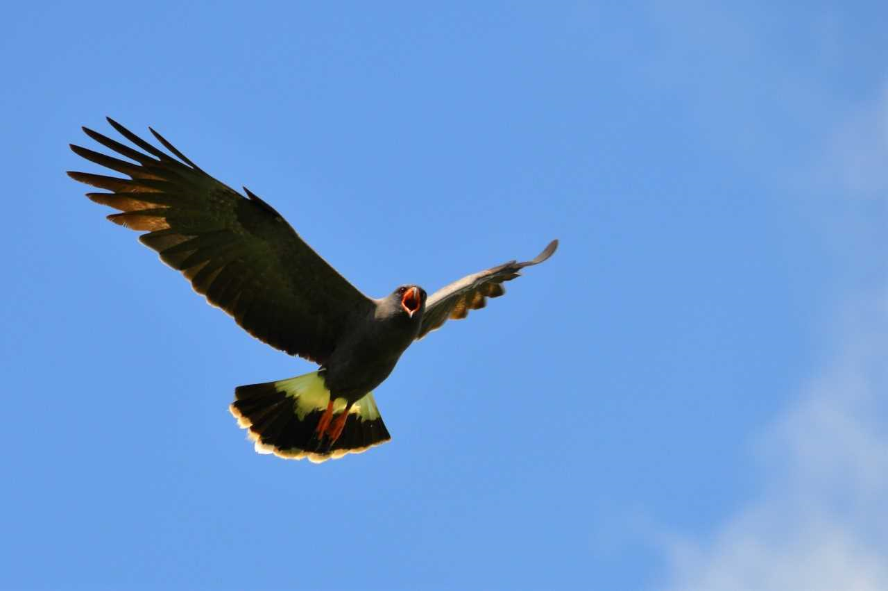 A male adult snail kite flying near researchers