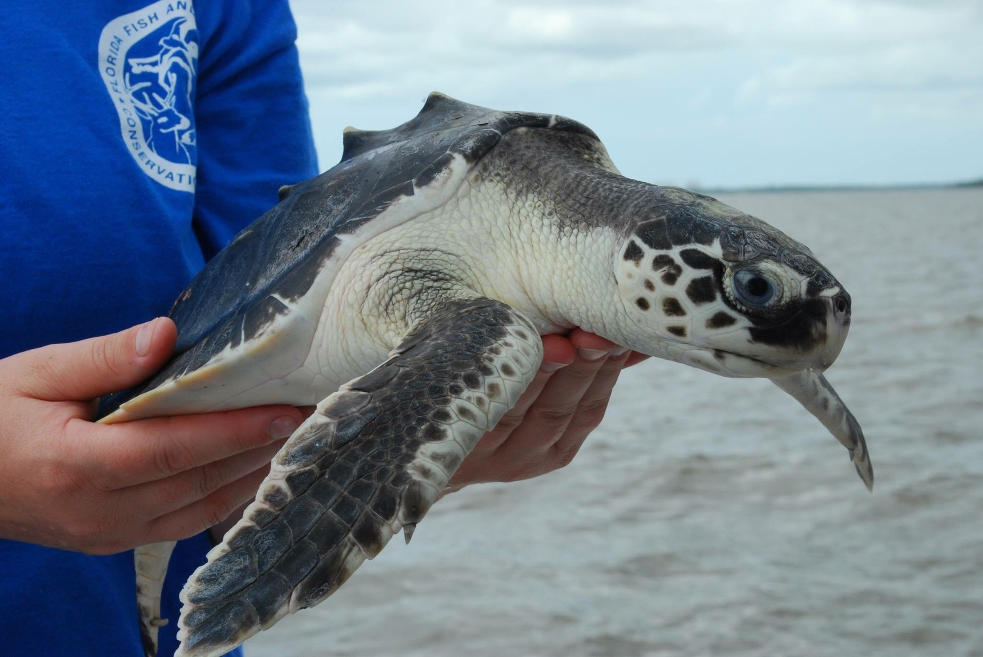 A sea turtle being carried to the ocean to be released