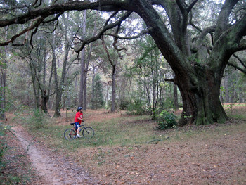 Dean Rogers admires large live oak along Cadillac Trail near Tallahassee, by  Doug Alderson