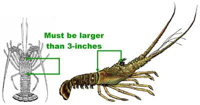Florida Spiny Lobster Season measurement