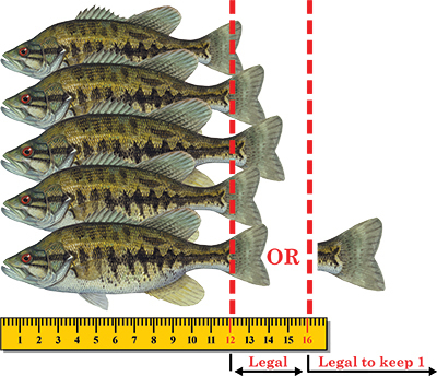 Other black bass species regulation