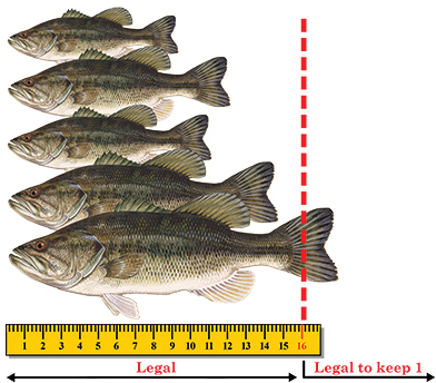 Largemouth bass regulation