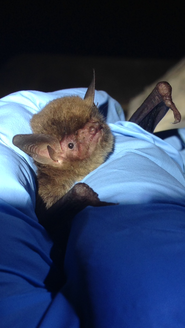 Picture: adult southeastern myotis
