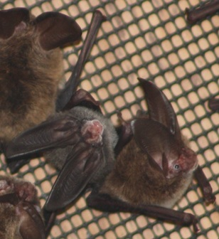 Picture: adult and juvenile Raginesque's big-eared bat