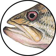 Largemouth bass mouth