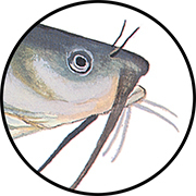 Catfish mouth
