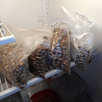 Acorns in Refrigerator