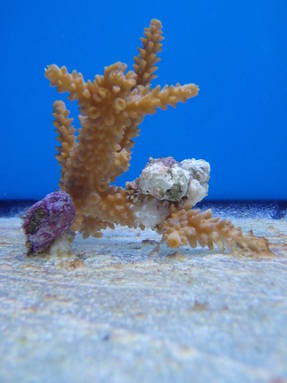 Three corallivorous snails consuming a fragment of staghorn coral
