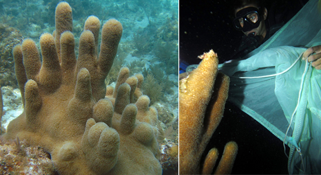 Left: Pillar Coral and Right: Researcher collecting gametes from pillar coral