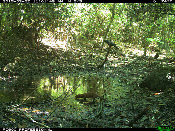 Camera trap captures a picture of an Everglades mink