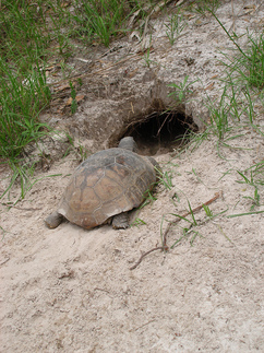 Gopher tortoise at burrow
