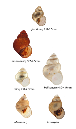 Photographs of 6 silt snail species known to occur in Florida