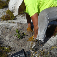Ridge Ranger Planting a Scrub Oak